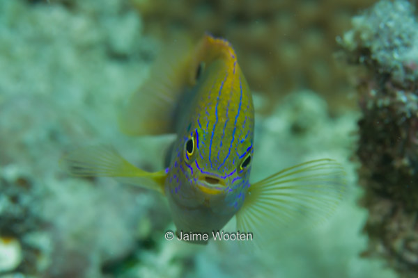 Princess Damselfish