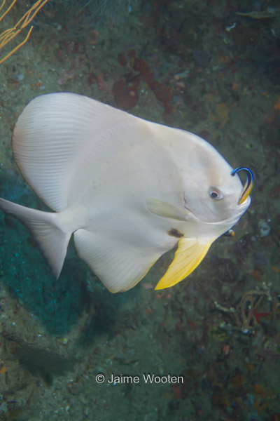 Albino Spadefish getting cleaned