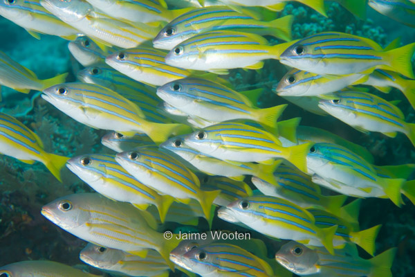 Blue Striped Snappers